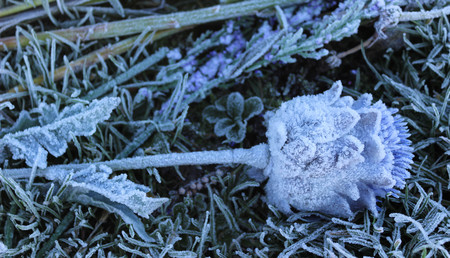 Frozen thistle found on the ground on Culloden Moor, Scotland on a winters day. Stock Photo