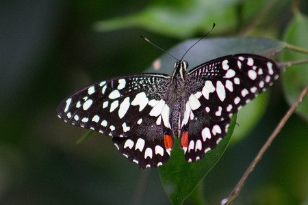 Close-up of black, white and red butterfly sitting on a leaf.