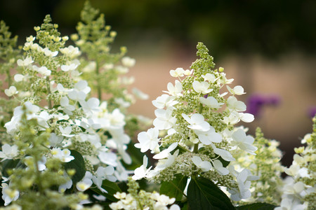 Beautiful garden of blooming Panicled Hydrangea native of China, Korea, Japan and Russia. Zdjęcie Seryjne