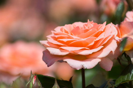 Close-up of a fully bloomed magnificent peach rose amongst a large bush of peach roses in a garden. Stock Photo