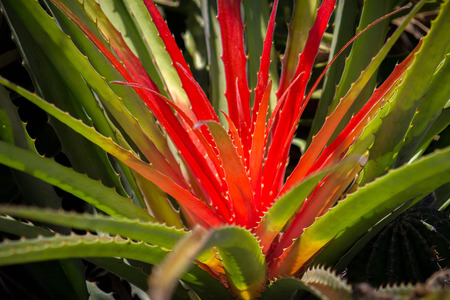 Brilliant fluorescent red, yellow and green cactus plant.