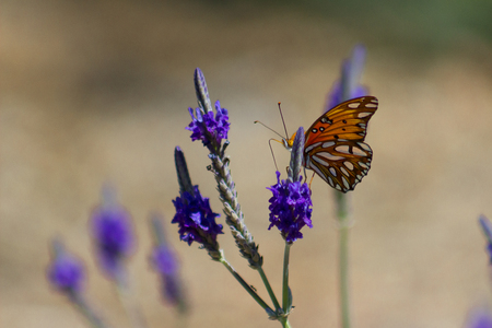 Beautiful monarch butterfly peaking its head around some blooming lavender flowers.