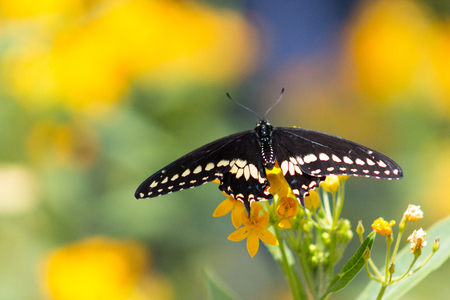 celebration: Magnificent Black Swallowtail or Papilio polyxenes Butterfly with wings unfurled on a grouping of orange flowers.