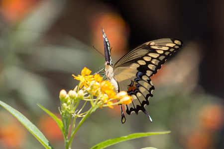 Gorgeous Tiger Swallow Tail or Papilio glaucus butterfly resting on an orange flower. Stock Photo