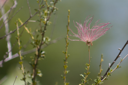 Magnificent shot of the feathery fruit of the Apache Plume shrub.