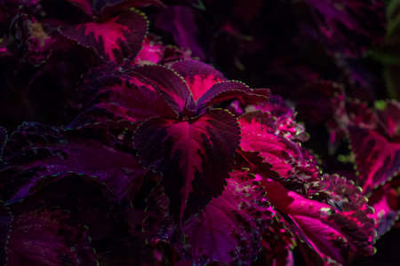 Sublime moody view of a Coleus Cultivar or Coleus Blumei plant with gorgeous purple and magenta leaves illuminated by the sun in a garden. Reklamní fotografie