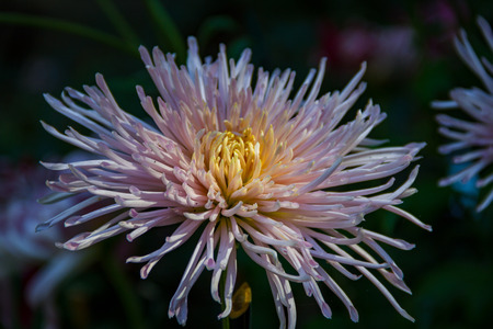 Pristine yellow and light pink Kings Delight Chrysanthemum in a shaded garden being kissed by the sun.