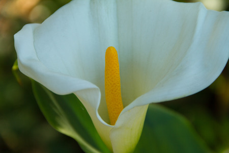 Beautiful bright close-up of a Calla Lily in the spring in a garden. Stock Photo