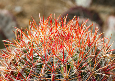 Gorgeous close up of the red and orange needles of a cactus in a cactus garden.