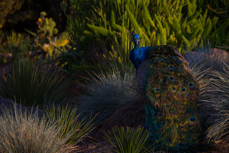 Incredible shot of a peacock in a desert landscape amongst rocks and bushes at sunsets golden hour. Zdjęcie Seryjne