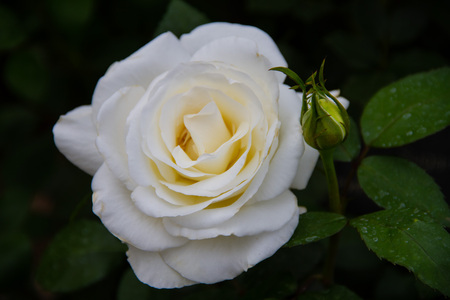 Perfect single white rose with a small bud in a garden.