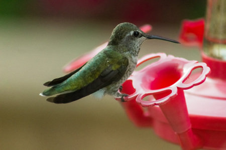 Amazing close-up of a humming bird sitting completely still at a bird feeder in a garden.