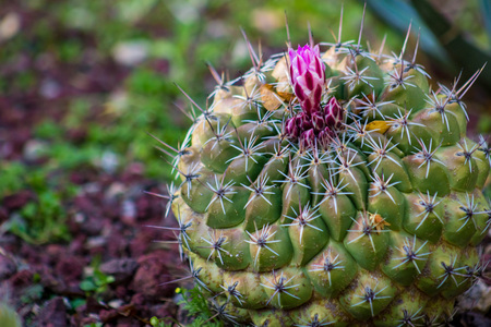 Amazing round barrel cactus with pink or magenta flower about to bloom in a cactus garden. Zdjęcie Seryjne