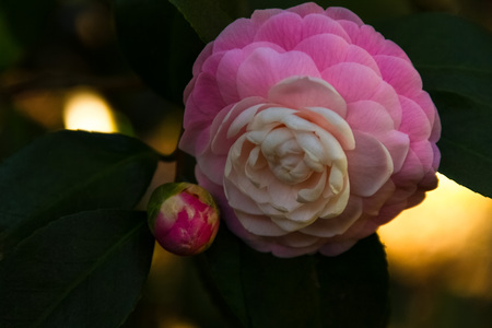 Spectacular bud a fully bloomed Camellia Japonica flower back light by the sun in a garden.