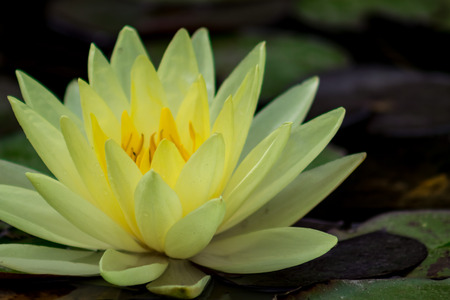 Spectacular moody bright yellow water lily in a pond.