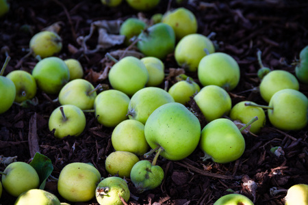 Beautiful pile of green apples on the ground that have fallen from the tree above. Zdjęcie Seryjne