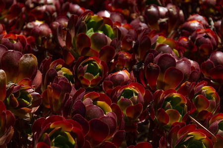 Amazing field of Aeonium of the Zwartkop or Jack Catlin variety plant- Native or Morroco, Madiera and East Africa.