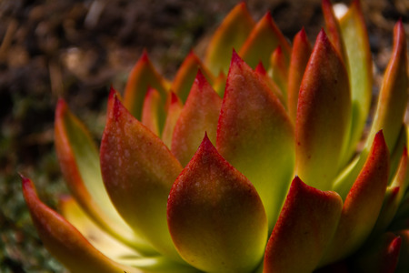 Amazing macro shot of an Echeveria Colorata succulent plant - also known as the Mexican giant in a garden.