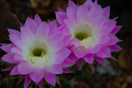 Beautiful duo of pink and white large blooming flowers on a cactus in a cactus garden. Zdjęcie Seryjne
