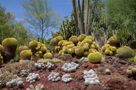 Incredible desert cactus garden with multiple types of cactus in the spring or summer on a bright day. Zdjęcie Seryjne