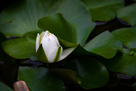 Gorgeous bud of a  white water lily about to open in a pond.