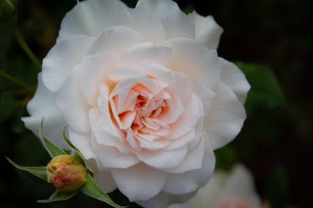 Gorgeous close-up of a blooming light pink rose with small rosebud next to it in a garden.