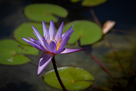 Gorgeous bright purple water lily in a pond with lily pads. Zdjęcie Seryjne