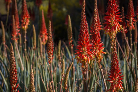 Amazing field of flowering aloe cactus in a desert garden.