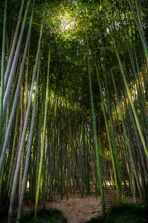 Gorgeous bamboo garden with light creeping through the branches and a pathway. Zdjęcie Seryjne