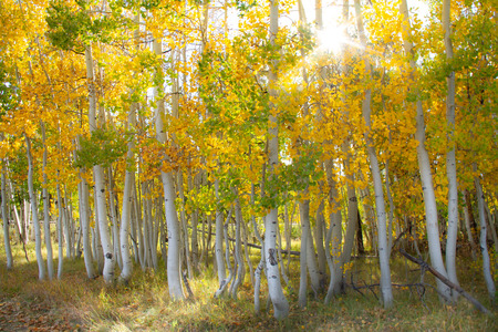 Magnificent bright colored aspen trees with a sunburst in the autumn. Zdjęcie Seryjne