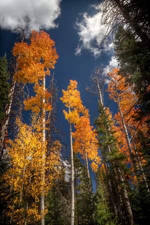 Spectacular vertical view of the autumn colored leaves and Pine Trees in Dixie National Forest in Southern Utah, USA. Zdjęcie Seryjne