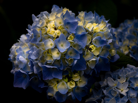 Gorgeous bright blue or periwinkle colored hydrangea with a black background in the spring or summer in a garden.