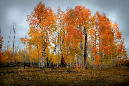 Moody and cloudy view of a forest of vibrantly colored birch and aspen tree in the autumn in Sothern Utah.