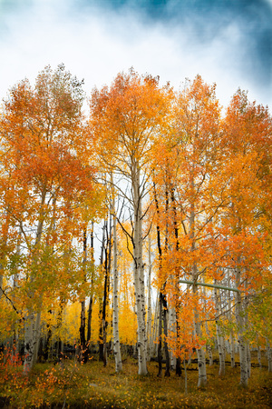 Gorgeous vertical shot of a forest of birch and aspen trees with bright vivid autumn leaves during the day. Zdjęcie Seryjne