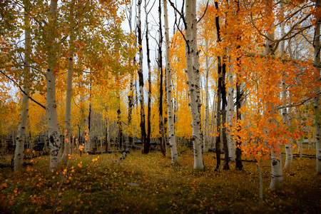 Gorgeous forest of birch and aspen trees with bright vivid autumn leaf color during the day. Zdjęcie Seryjne