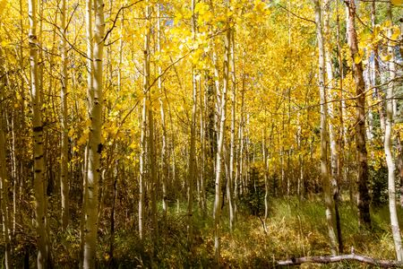 Beautiful grove of bright yellow aspen trees in the autumn. Zdjęcie Seryjne