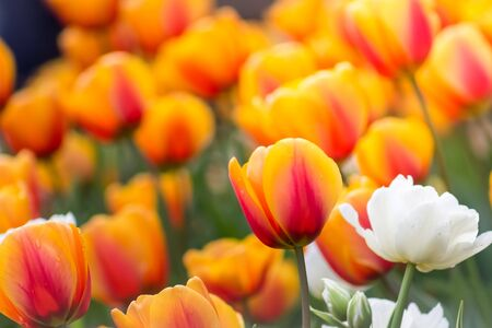 Gorgeous field of orange tulips with one lone white tulip in the spring.