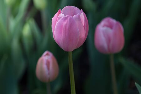 Beautiful Close-up of  three blooming pink tulips on a spring day in a field or meadow.