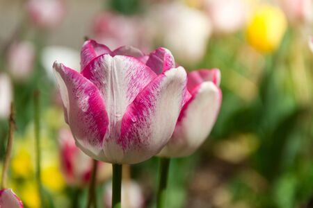 Beautiful pink and white isolated tulip in a brilliant green field during a bright spring or summer day
