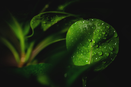 Bonsai leaf with water drops