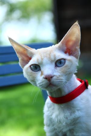 individualist: devon rex cat Stock Photo