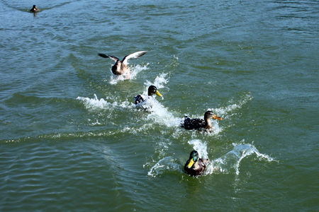 Flying ducks Stock Photo