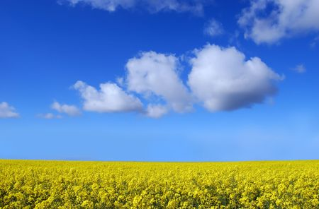 A yellow rape field with blue sky and white puffy clouds. Stock Photo
