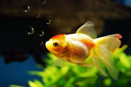 A goldfish in an aquarium blowing bubbles. Stock Photo - 2790037