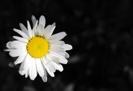 An oxeye daisy, leucanthemum vulgare, against a black and white background photo