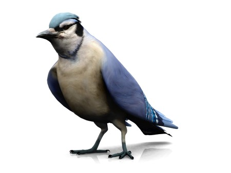 jay: A bluejay bird on white background. Stock Photo