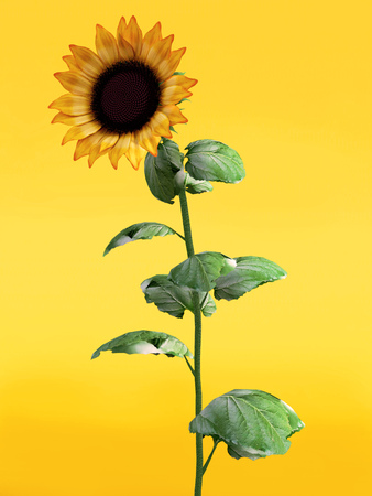 3D rendering of a pretty sunflower on an orange colored background. Stock Photo