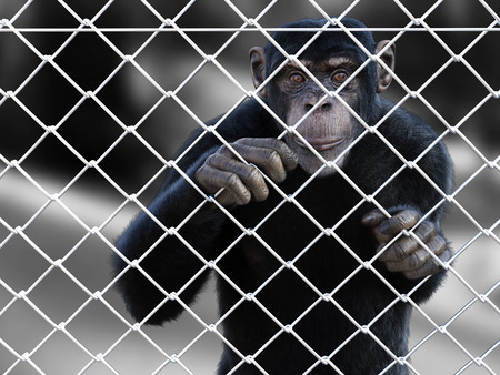 3D rendering of a sad chimpanzee standing caged behind a chain link wire steel metal fence, looking at you.