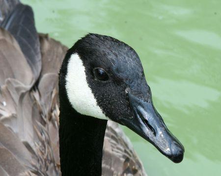 canadian goose up close photo