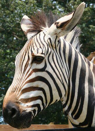 mountain zebra (endangered) Stock Photo